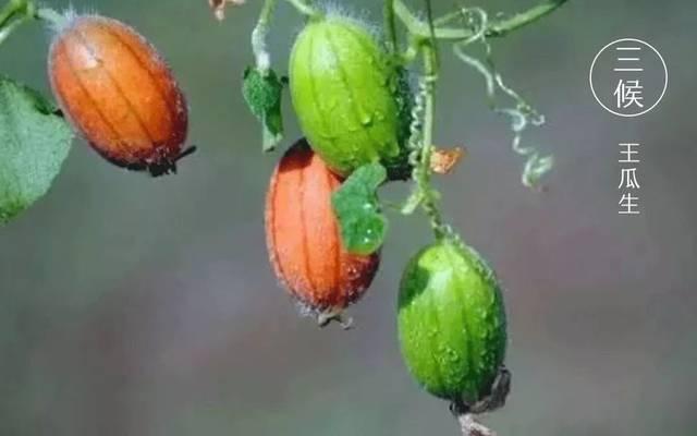wang gua fruit grows