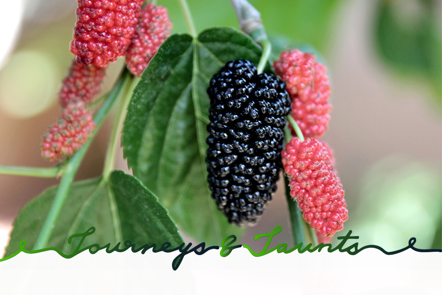 mulberries growing in China during Grain Buds, 8th out of 24 Chinese Solar terms